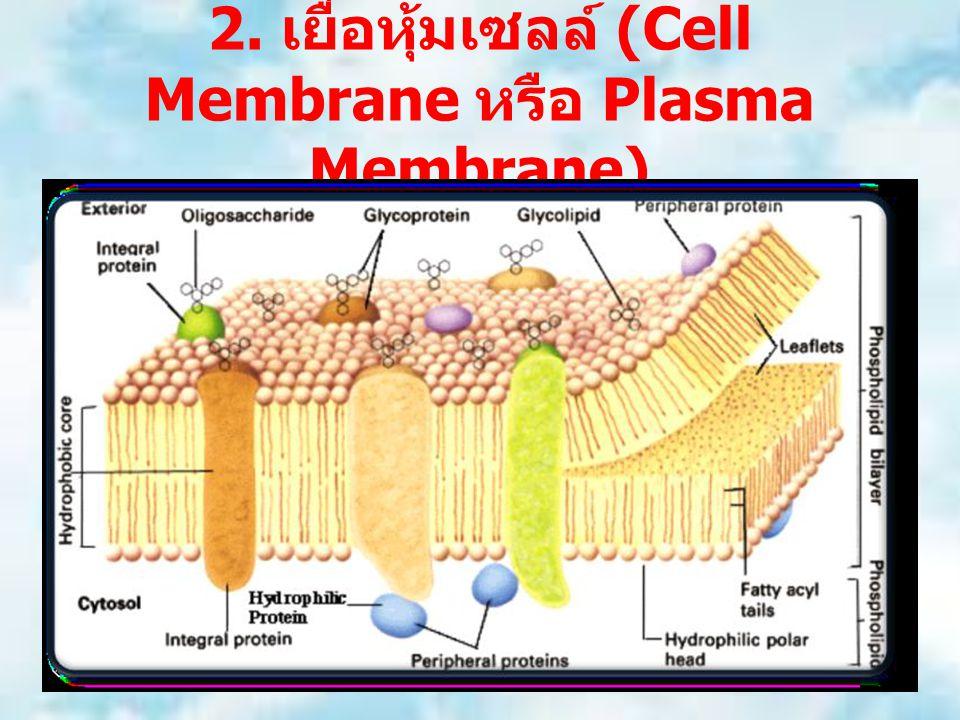 2. เยื่อหุ้มเซลล์ (Cell Membrane หรือ Plasma Membrane)