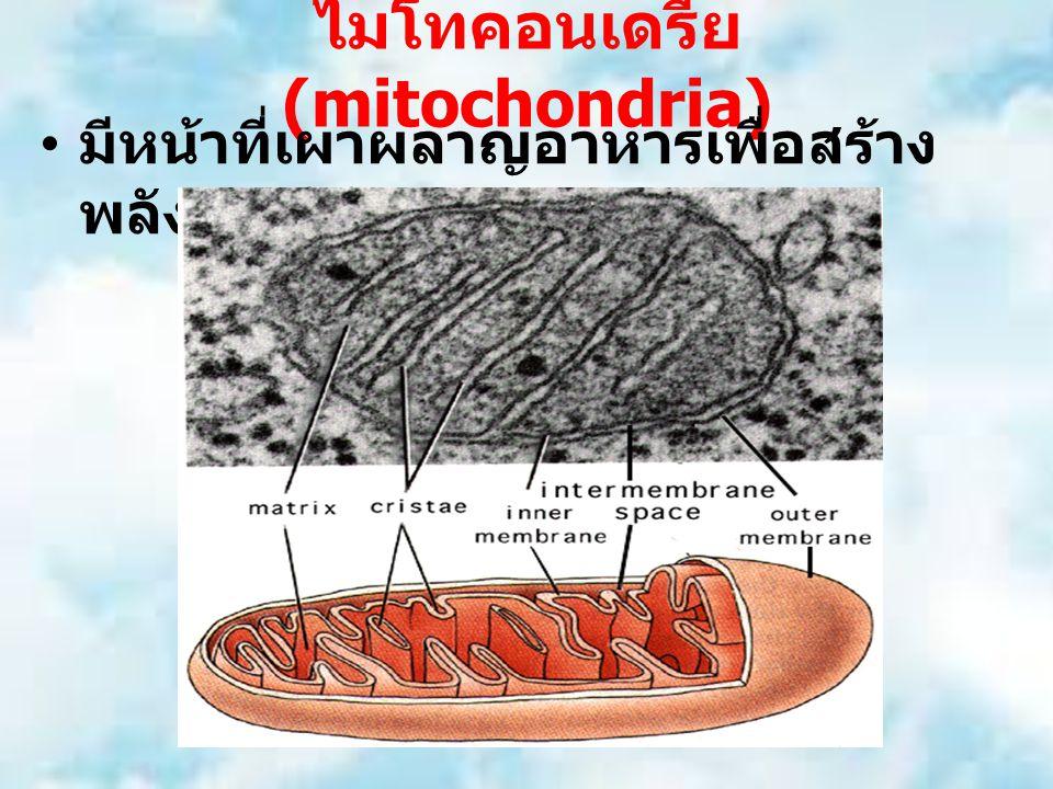ไมโทคอนเดรีย (mitochondria) มีหน้าที่เผาผลาญอาหารเพื่อสร้าง พลังงานให้แก่เซลล์ (ATP)