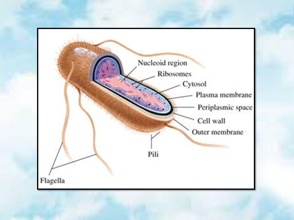 1. เยื่อหุ้มนิวเคลียส (Nuclear membrane)