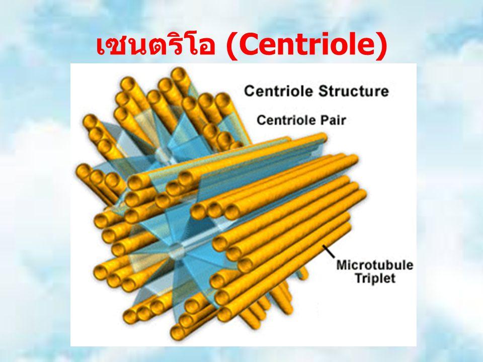 เซนตริโอ (Centriole)
