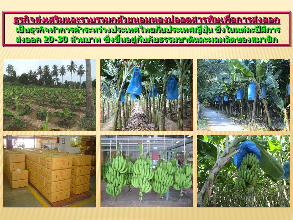 ธุรกิจส่งเสริมและรวบรวมกล้วยหอมทองปลอดสารพิษเพื่อการส่งออก เป็นธุรกิจทำการค้าระหว่างประเทศไทยกับประเทศญี่ปุ่น ซึ่งในแต่ละปีมีการ ส่งออก 20-30 ล้านบาท