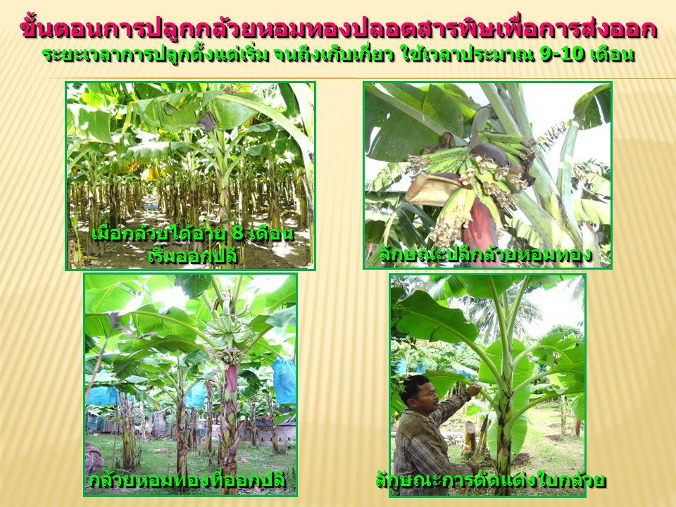 ขั้นตอนการปลูกกล้วยหอมทองปลอดสารพิษเพื่อการส่งออก ระยะเวลาการปลูกตั้งแต่เริ่ม จนถึงเก็บเกี่ยว ใช้เวลาประมาณ 9-10 เดือน เมื่อกล้วยได้อายุ 8 เดือน เริ่ม