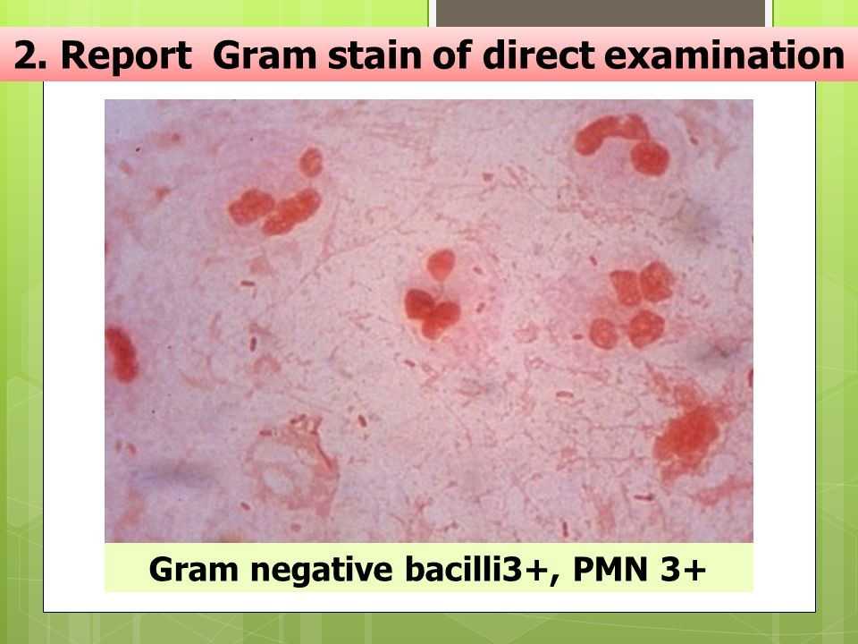 2. Report Gram stain of direct examination Gram negative bacilli3+, PMN 3+