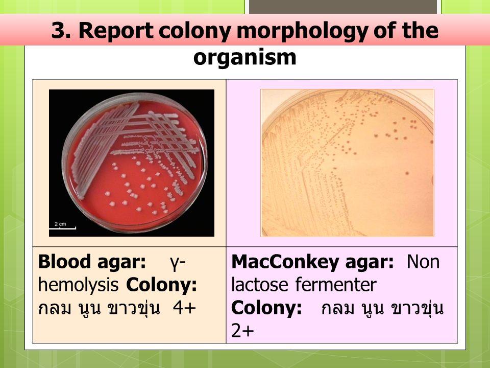 3. Report colony morphology of the organism Blood agar: γ- hemolysis Colony: กลม นูน ขาวขุ่น 4+ MacConkey agar: Non lactose fermenter Colony: กลม นูน