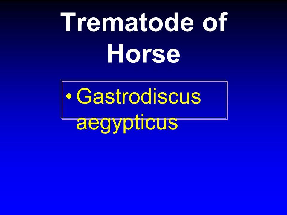 Trematode of Horse Gastrodiscus aegypticus