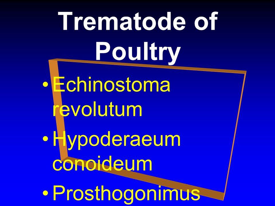 Trematode of Poultry Echinostoma revolutum Hypoderaeum conoideum Prosthogonimus pellucidus