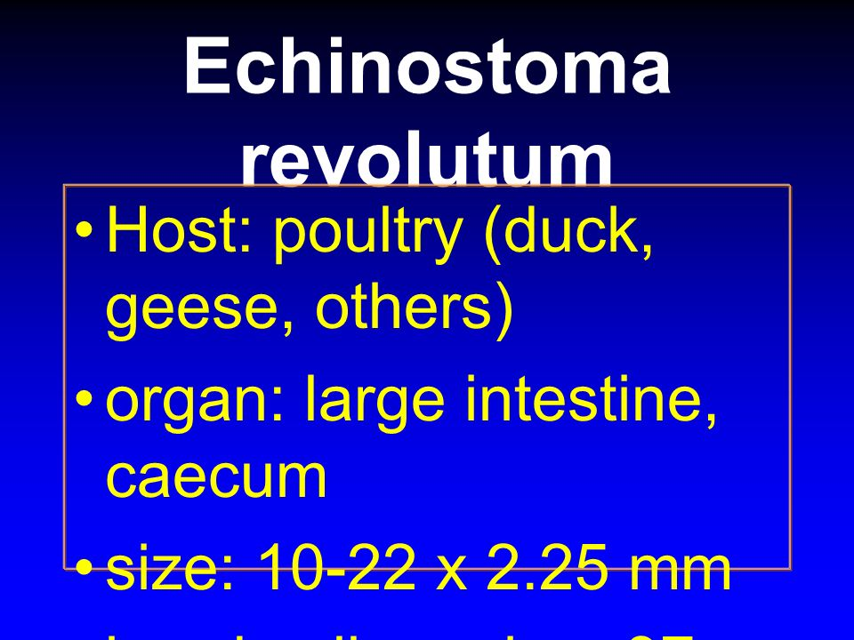 Echinostoma revolutum Host: poultry (duck, geese, others) organ: large intestine, caecum size: 10-22 x 2.25 mm head collar spine: 37 spines