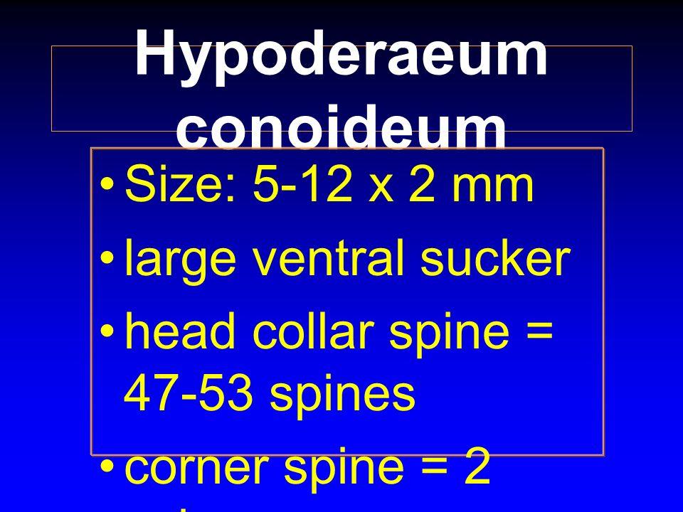Hypoderaeum conoideum Size: 5-12 x 2 mm large ventral sucker head collar spine = 47-53 spines corner spine = 2 spines