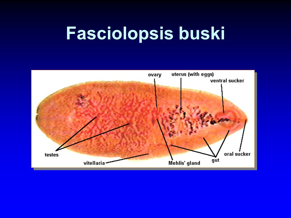 Host: ม้า, ลา, ล่อ, สุกร organ: small & large intestine body: saucer shape oral sucker: anterior end