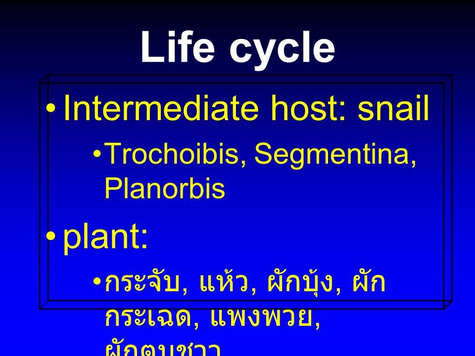 Life cycle Intermediate host: snail Trochoibis, Segmentina, Planorbis plant: กระจับ, แห้ว, ผักบุ้ง, ผัก กระเฉด, แพงพวย, ผักตบชวา