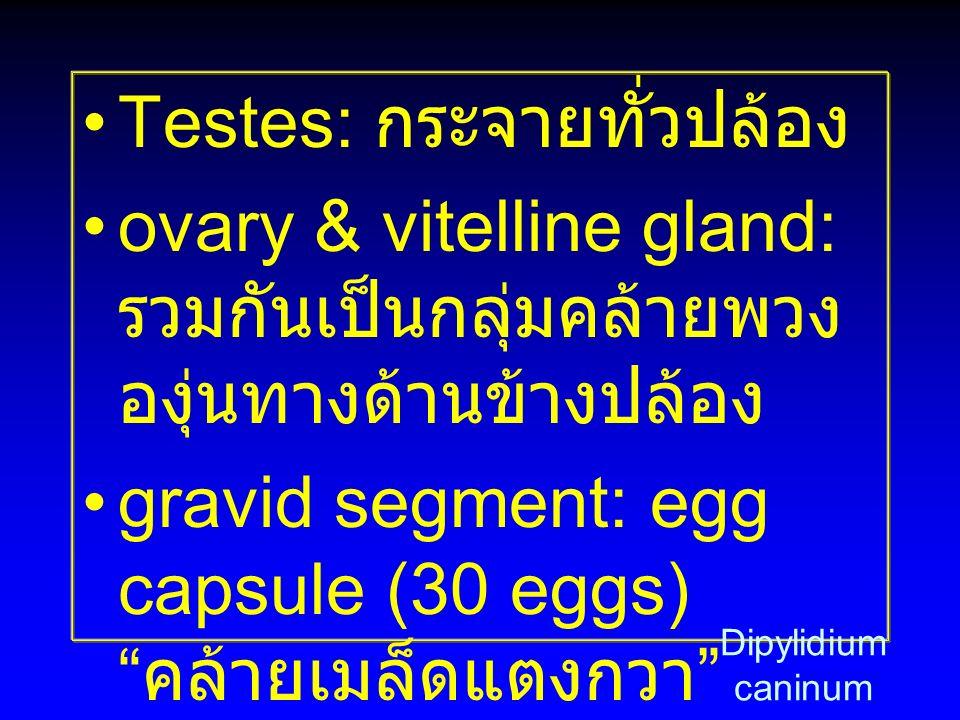 "Testes: กระจายทั่วปล้อง ovary & vitelline gland: รวมกันเป็นกลุ่มคล้ายพวง องุ่นทางด้านข้างปล้อง gravid segment: egg capsule (30 eggs) "" คล้ายเมล็ดแตงกว"