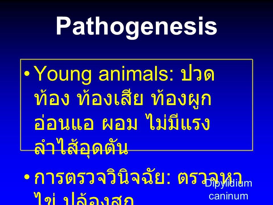 Pathogenesis Young animals: ปวด ท้อง ท้องเสีย ท้องผูก อ่อนแอ ผอม ไม่มีแรง ลำไส้อุดตัน การตรวจวินิจฉัย : ตรวจหา ไข่ ปล้องสุก Dipylidium caninum