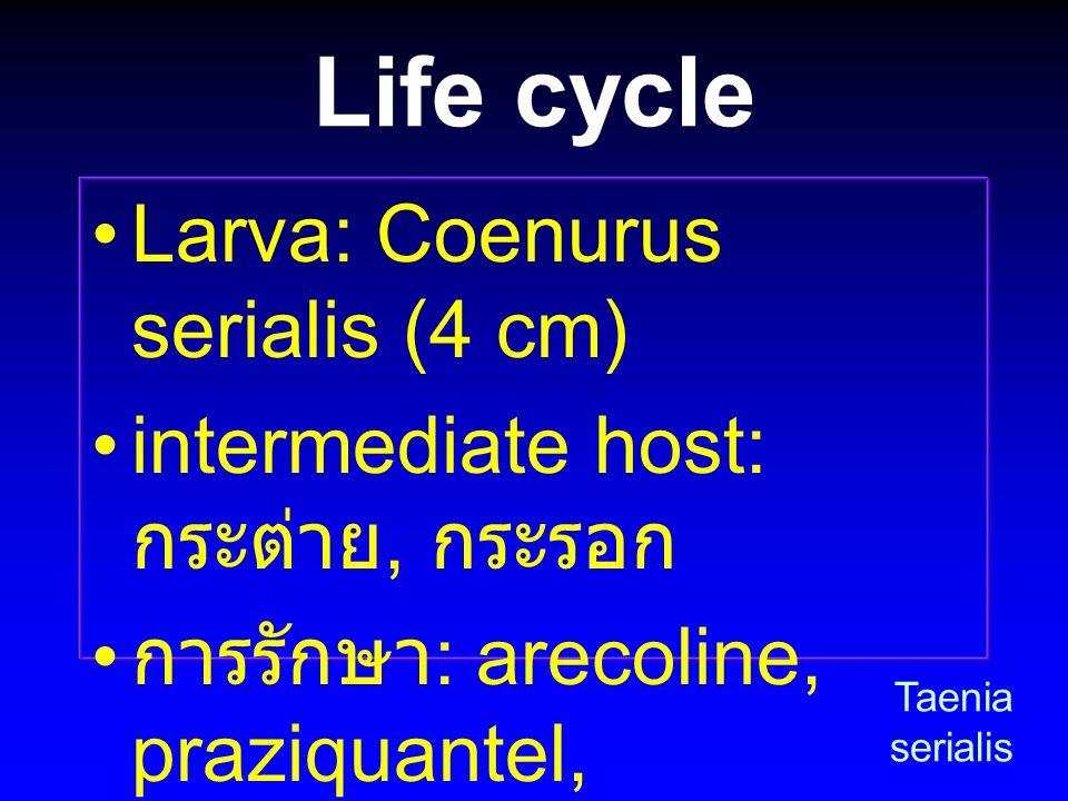 Life cycle Larva: Coenurus serialis (4 cm) intermediate host: กระต่าย, กระรอก การรักษา : arecoline, praziquantel, dichlorophen, niclosamide Taenia ser