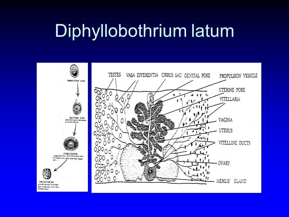 Life cycle Larva: Coenurus cerebralis สมอง ไขสันหลัง ของ ruminant ตัวอ่อนสามารถเจริญต่อ ได้เมื่ออยู่ที่ระบบประสาท Hydatigena taeniaformis