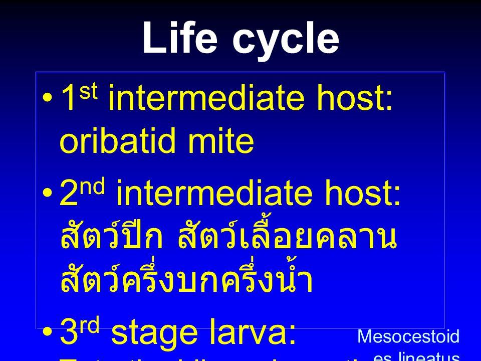 Life cycle 1 st intermediate host: oribatid mite 2 nd intermediate host: สัตว์ปีก สัตว์เลื้อยคลาน สัตว์ครึ่งบกครึ่งน้ำ 3 rd stage larva: Tetrathyridiu