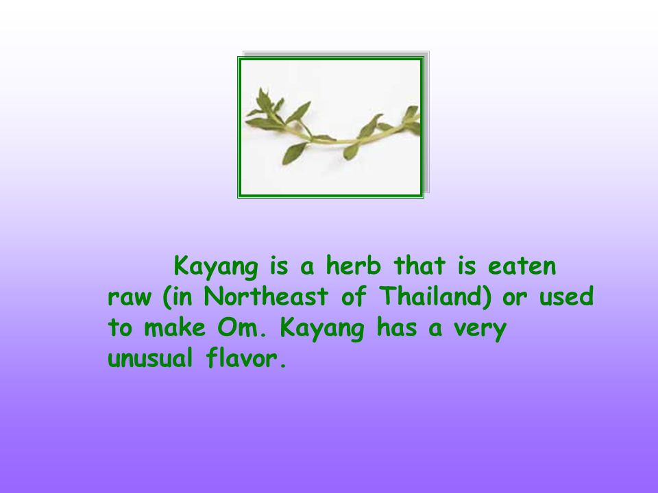 Kayang is a herb that is eaten raw (in Northeast of Thailand) or used to make Om. Kayang has a very unusual flavor.