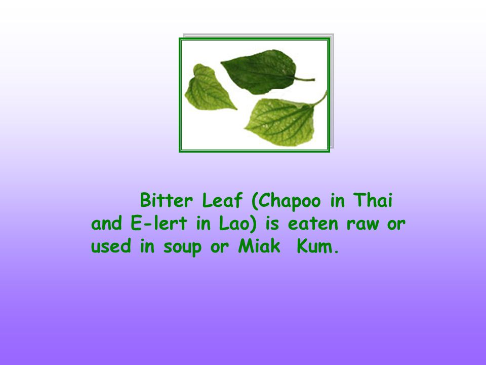 Bitter Leaf (Chapoo in Thai and E-lert in Lao) is eaten raw or used in soup or Miak Kum.