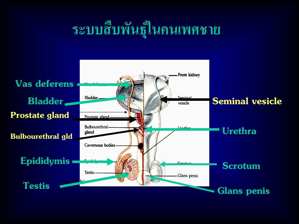 ระบบสืบพันธุ์ในคนเพศชาย Testis Epididymis Vas deferens Urethra Seminal vesicle Bulbourethral gld Prostate gland Scrotum Glans penis Bladder