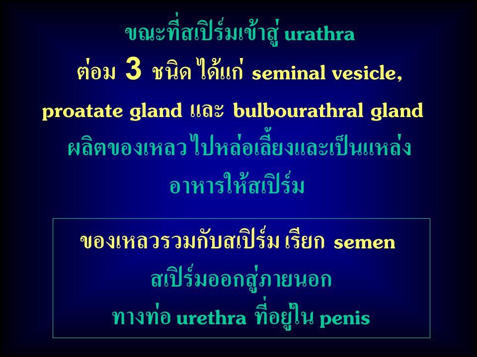 ของเหลวรวมกับสเปิร์ม เรียก semen สเปิร์มออกสู่ภายนอก ทางท่อ urethra ที่อยู่ใน penis ขณะที่สเปิร์มเข้าสู่ urathra ต่อม 3 ชนิด ได้แก่ seminal vesicle, proatate gland และ bulbourathral gland ผลิตของเหลว ไปหล่อเลี้ยงและเป็นแหล่ง อาหารให้สเปิร์ม