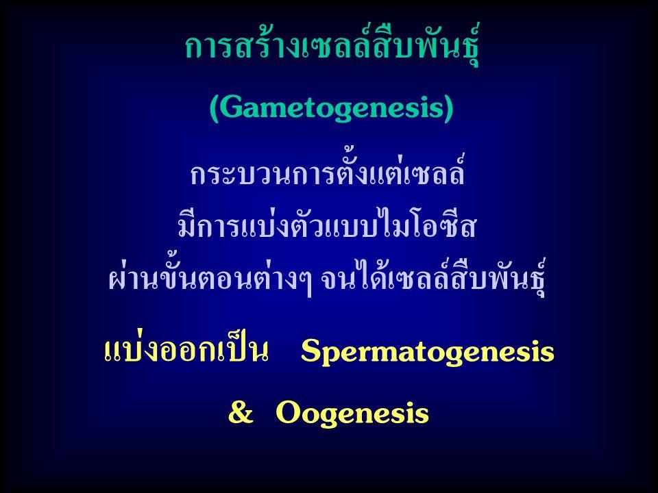 การสร้างเซลล์สืบพันธุ์ (Gametogenesis) กระบวนการตั้งแต่เซลล์ มีการแบ่งตัวแบบไมโอซีส ผ่านขั้นตอนต่างๆ จนได้เซลล์สืบพันธุ์ แบ่งออกเป็น Spermatogenesis & Oogenesis