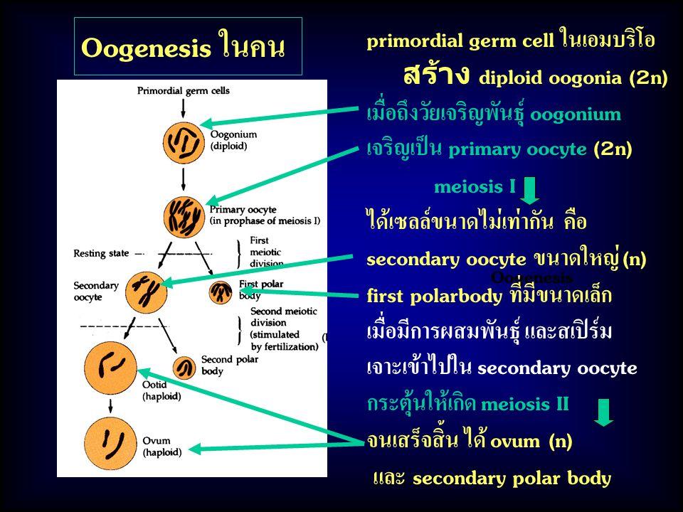 Oogenesis Oogenesis ในคน primordial germ cell ในเอมบริโอ สร้าง diploid oogonia (2n) เมื่อถึงวัยเจริญพันธุ์ oogonium เจริญเป็น primary oocyte (2n) meiosis I ได้เซลล์ขนาดไม่เท่ากัน คือ secondary oocyte ขนาดใหญ่ (n) first polarbody ที่มีขนาดเล็ก เมื่อมีการผสมพันธุ์ และสเปิร์ม เจาะเข้าไปใน secondary oocyte กระตุ้นให้เกิด meiosis II จนเสร็จสิ้น ได้ ovum (n) และ secondary polar body