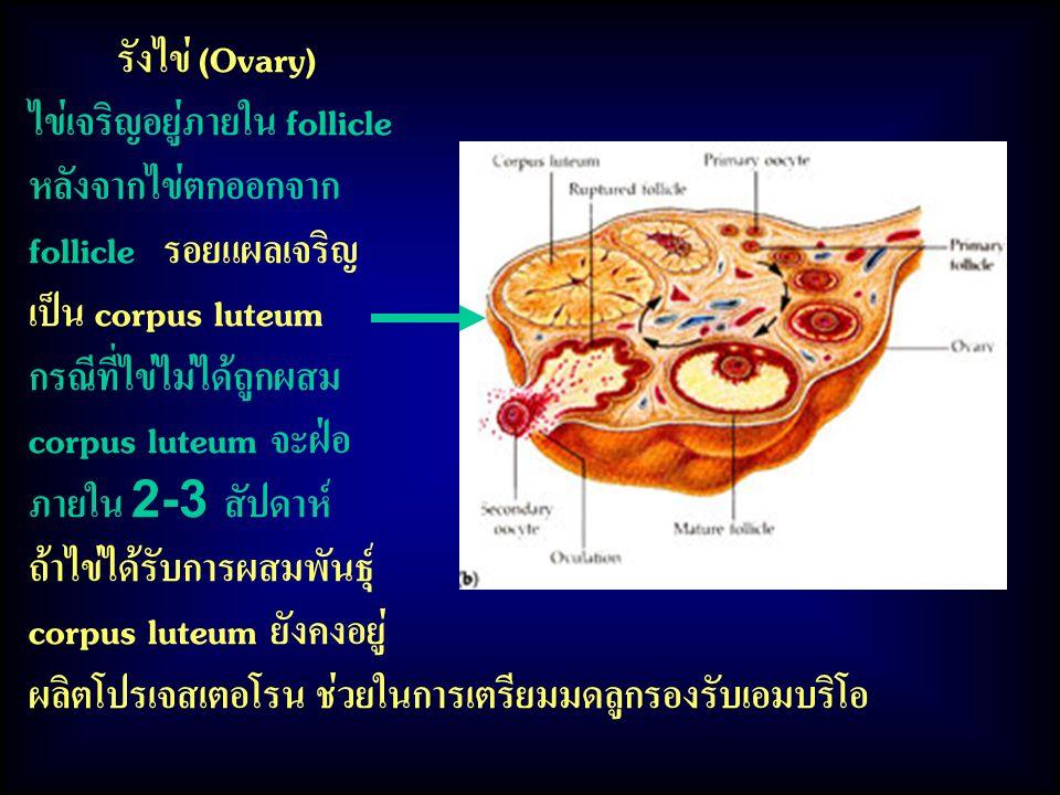 รังไข่ (Ovary) ไข่เจริญอยู่ภายใน follicle หลังจากไข่ตกออกจาก follicle รอยแผลเจริญ เป็น corpus luteum กรณีที่ไข่ไม่ได้ถูกผสม corpus luteum จะฝ่อ ภายใน