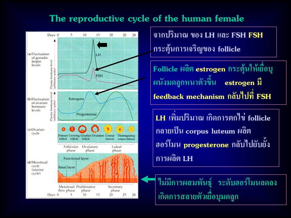 The reproductive cycle of the human female จากปริมาณ ของ LH และ FSH FSH กระตุ้นการเจริญของ follicle Follicle ผลิต estrogen กระตุ้นให้เยื่อบุ ผนังมดลูกหนาตัวขึ้น estrogen มี feedback mechanism กลับไปที่ FSH LH เพิ่มปริมาณ เกิดการตกไข่ follicle กลายเป็น corpus luteum ผลิต ฮอร์โมน progesterone กลับไปยับยั้ง การผลิต LH ไม่มีการผสมพันธุ์ ระดับฮอร์โมนลดลง เกิดการสลายตัวเยื่อบุมดลูก