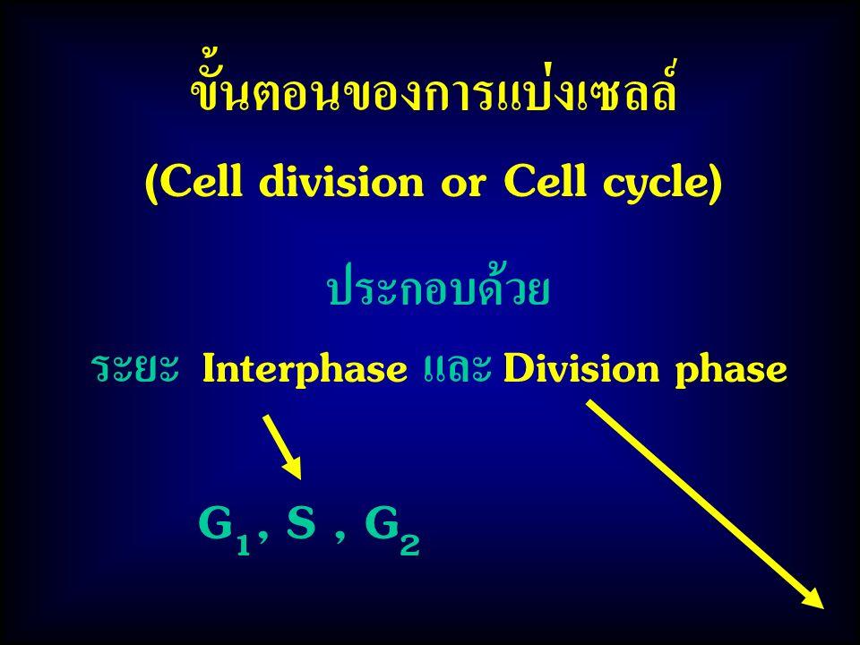 ขั้นตอนของการแบ่งเซลล์ (Cell division or Cell cycle) ประกอบด้วย ระยะ Interphase และ Division phase G 1, S, G 2
