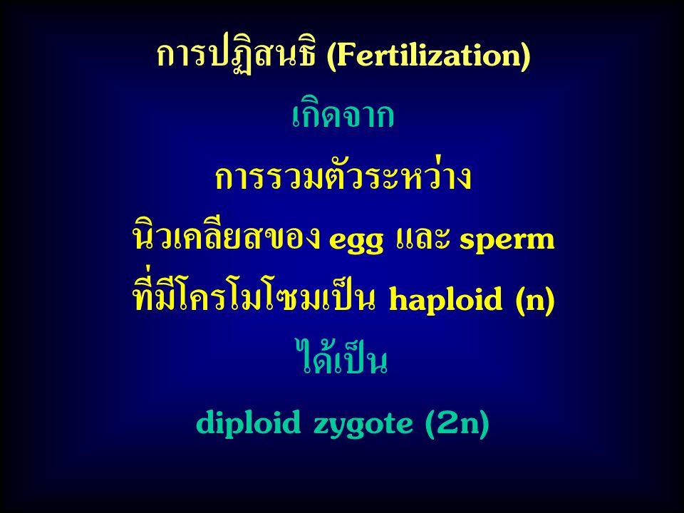 การปฏิสนธิ (Fertilization) เกิดจาก การรวมตัวระหว่าง นิวเคลียสของ egg และ sperm ที่มีโครโมโซมเป็น haploid (n) ได้เป็น diploid zygote (2n)