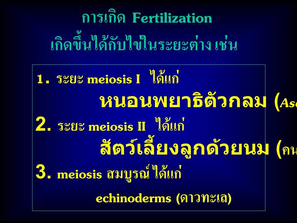 1.ระยะ meiosis I ได้แก่ หนอนพยาธิตัวกลม (Ascaris) 2.