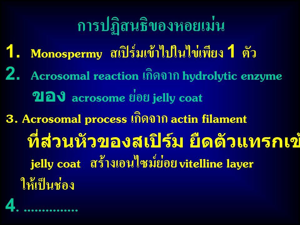การปฏิสนธิของหอยเม่น 1. Monospermy สเปิร์มเข้าไปในไข่เพียง 1 ตัว 2. Acrosomal reaction เกิดจาก hydrolytic enzyme ของ acrosome ย่อย jelly coat 3. Acros