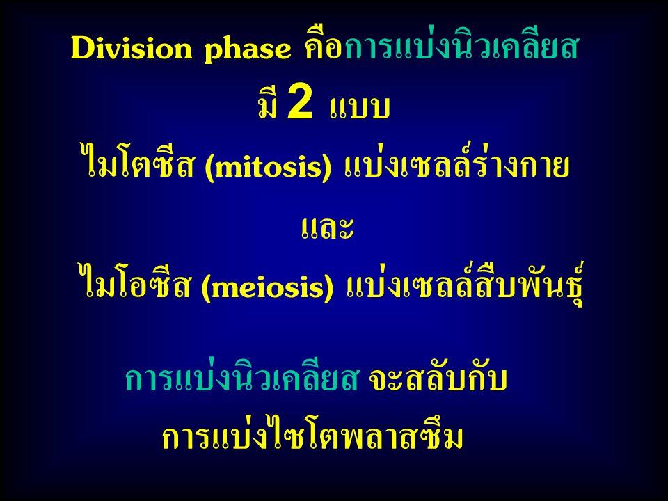 การแบ่งนิวเคลียส จะสลับกับ การแบ่งไซโตพลาสซึม Division phase คือการแบ่งนิวเคลียส มี 2 แบบ ไมโตซีส (mitosis) แบ่งเซลล์ร่างกาย และ ไมโอซีส (meiosis) แบ่