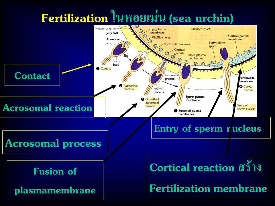 Fertilization ในหอยเม่น (sea urchin) Contact Acrosomal reaction Acrosomal process Fusion of plasmamembrane Entry of sperm nucleus Cortical reaction สร้าง Fertilization membrane