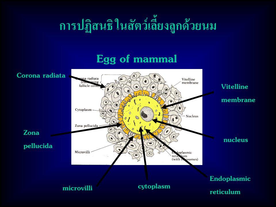 Egg of mammal cytoplasm Corona radiata Zona pellucida Vitelline membrane nucleus microvilli Endoplasmic reticulum การปฏิสนธิ ในสัตว์เลี้ยงลูกด้วยนม