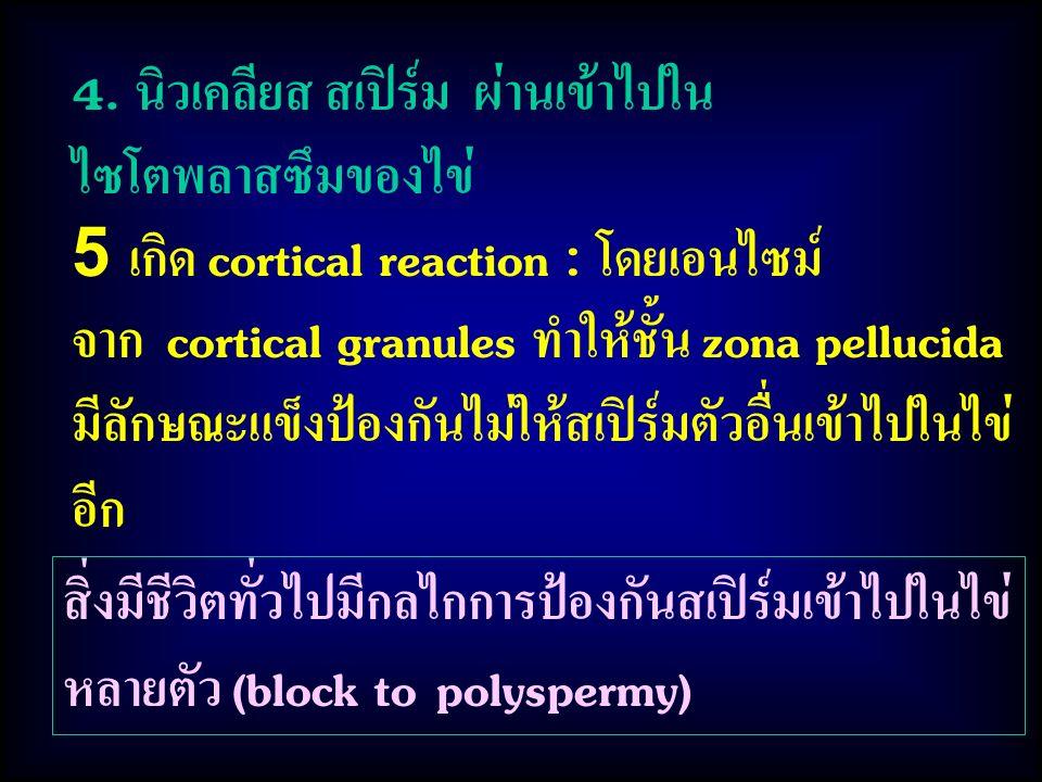 สิ่งมีชีวิตทั่วไปมีกลไกการป้องกันสเปิร์มเข้าไปในไข่ หลายตัว (block to polyspermy) 4. นิวเคลียส สเปิร์ม ผ่านเข้าไปใน ไซโตพลาสซึมของไข่ 5 เกิด cortical
