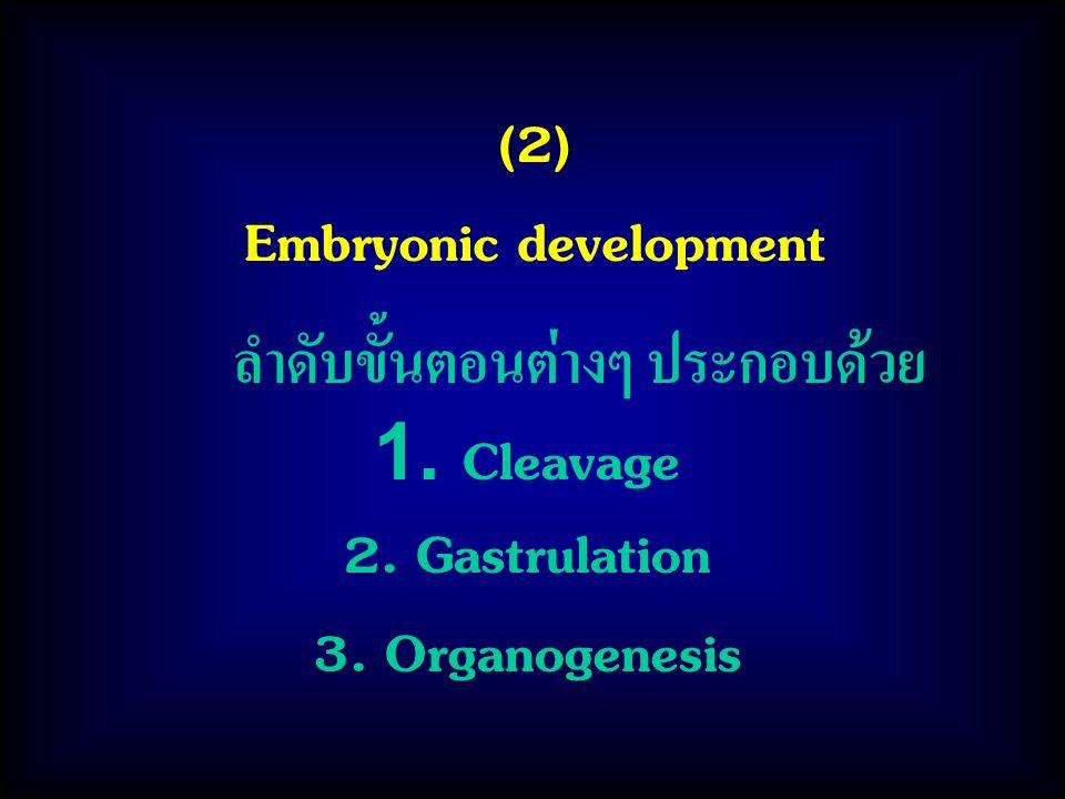 (2) Embryonic development ลำดับขั้นตอนต่างๆ ประกอบด้วย 1. Cleavage 2. Gastrulation 3. Organogenesis