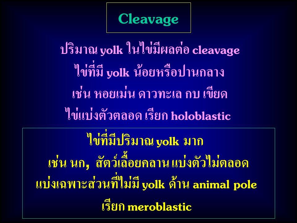 ไข่ที่มีปริมาณ yolk มาก เช่น นก, สัตว์เลื้อยคลาน แบ่งตัวไม่ตลอด แบ่งเฉพาะส่วนที่ไม่มี yolk ด้าน animal pole เรียก meroblastic Cleavage ปริมาณ yolk ในไ