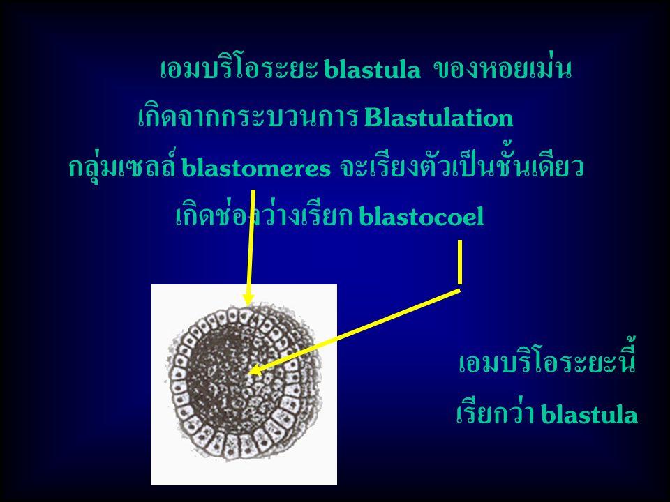 เอมบริโอระยะ blastula ของหอยเม่น เกิดจากกระบวนการ Blastulation กลุ่มเซลล์ blastomeres จะเรียงตัวเป็นชั้นเดียว เกิดช่องว่างเรียก blastocoel เอมบริโอระยะนี้ เรียกว่า blastula