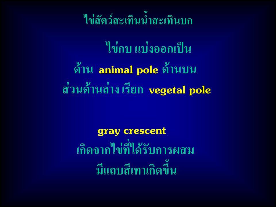 ไข่สัตว์สะเทินน้ำสะเทินบก ไข่กบ แบ่งออกเป็น ด้าน animal pole ด้านบน ส่วนด้านล่าง เรียก vegetal pole gray crescent เกิดจากไข่ที่ได้รับการผสม มีแถบสีเทาเกิดขึ้น