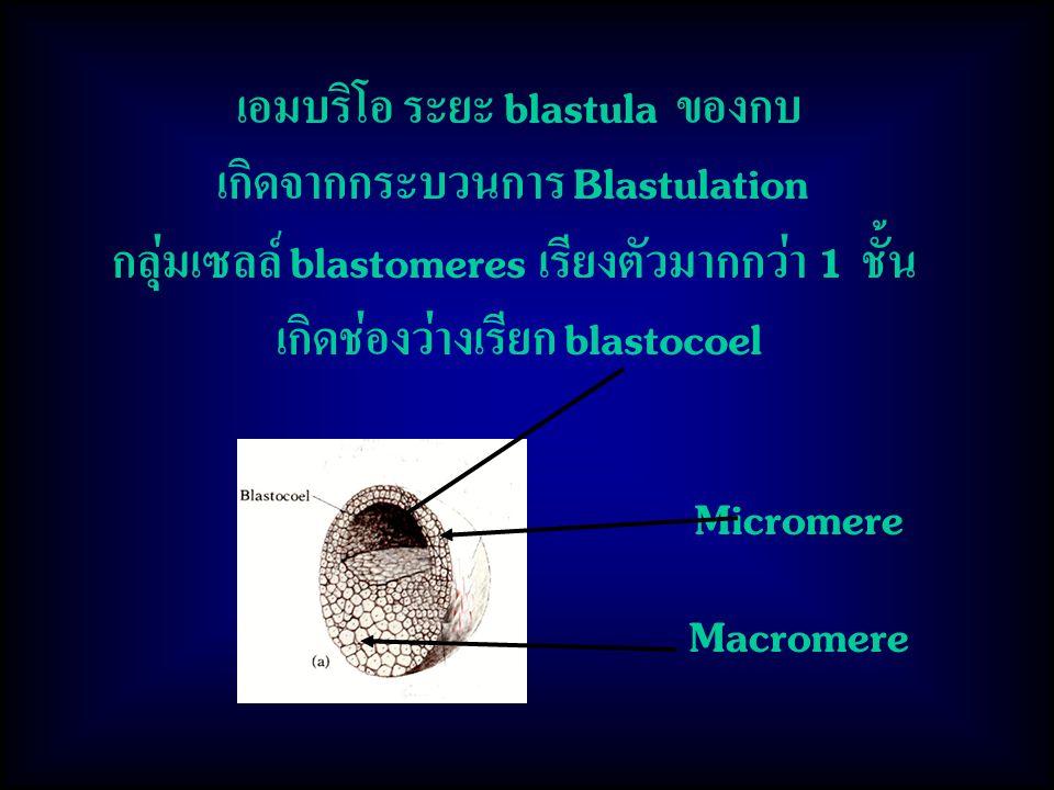 เอมบริโอ ระยะ blastula ของกบ เกิดจากกระบวนการ Blastulation กลุ่มเซลล์ blastomeres เรียงตัวมากกว่า 1 ชั้น เกิดช่องว่างเรียก blastocoel Micromere Macromere