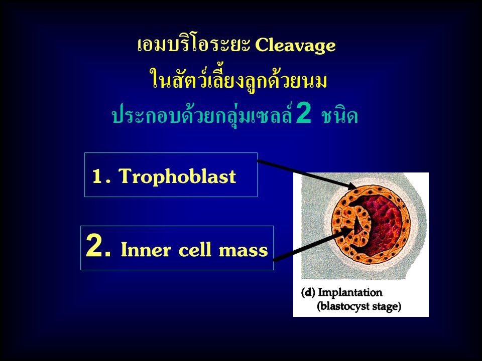 เอมบริโอระยะ Cleavage ในสัตว์เลี้ยงลูกด้วยนม ประกอบด้วยกลุ่มเซลล์ 2 ชนิด 2. Inner cell mass 1. Trophoblast