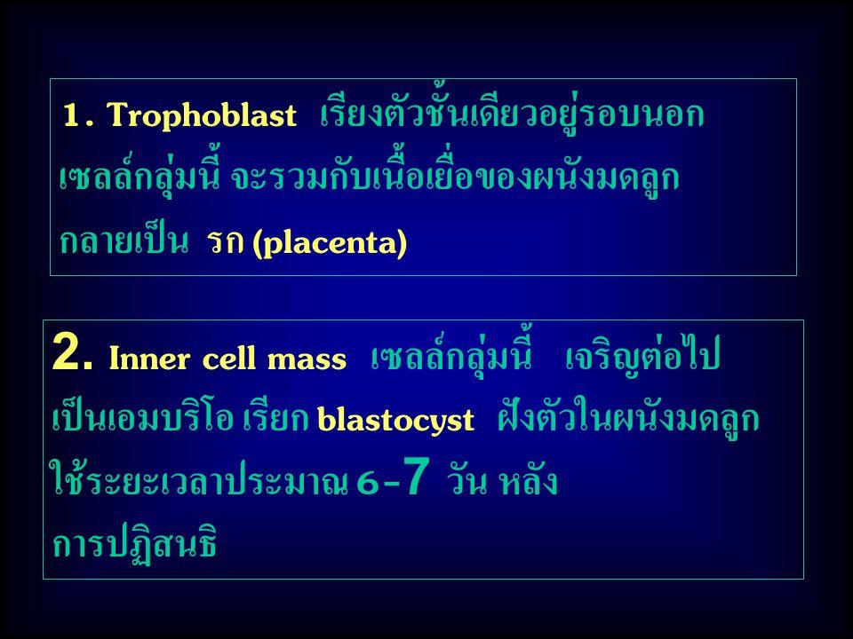 2. Inner cell mass เซลล์กลุ่มนี้ เจริญต่อไป เป็นเอมบริโอ เรียก blastocyst ฝังตัวในผนังมดลูก ใช้ระยะเวลาประมาณ 6-7 วัน หลัง การปฏิสนธิ 1. Trophoblast เ