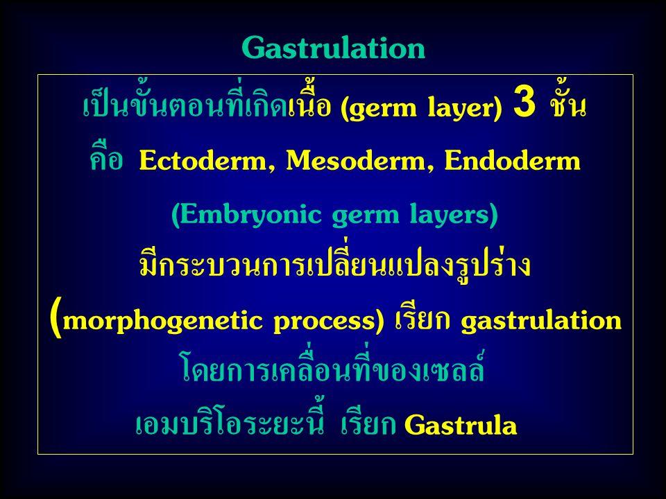 Gastrulation เป็นขั้นตอนที่เกิดเนื้อ (germ layer) 3 ชั้น คือ Ectoderm, Mesoderm, Endoderm (Embryonic germ layers) มีกระบวนการเปลี่ยนแปลงรูปร่าง (morphogenetic process) เรียก gastrulation โดยการเคลื่อนที่ของเซลล์ เอมบริโอระยะนี้ เรียก Gastrula