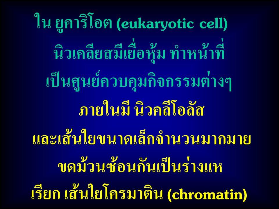 ใน ยูคาริโอต (eukaryotic cell) ภายในมี นิวคลีโอลัส และเส้นใยขนาดเล็กจำนวนมากมาย ขดม้วนซ้อนกันเป็นร่างแห เรียก เส้นใยโครมาติน (chromatin) นิวเคลียสมีเยื่อหุ้ม ทำหน้าที่ เป็นศูนย์ควบคุมกิจกรรมต่างๆ