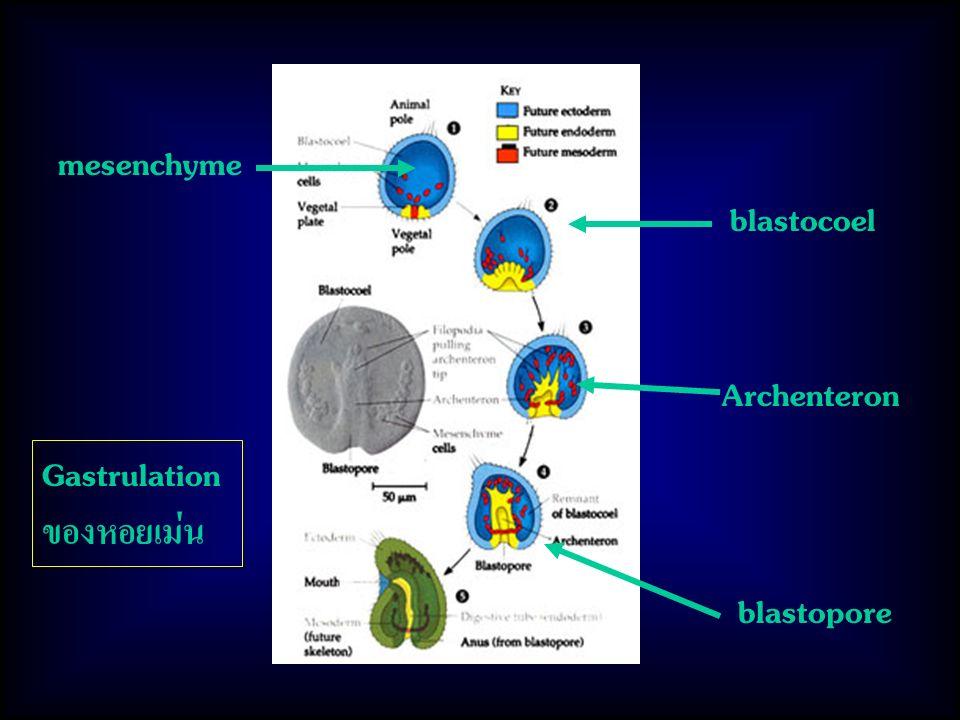 Gastrulation ของหอยเม่น mesenchyme blastocoel blastopore Archenteron