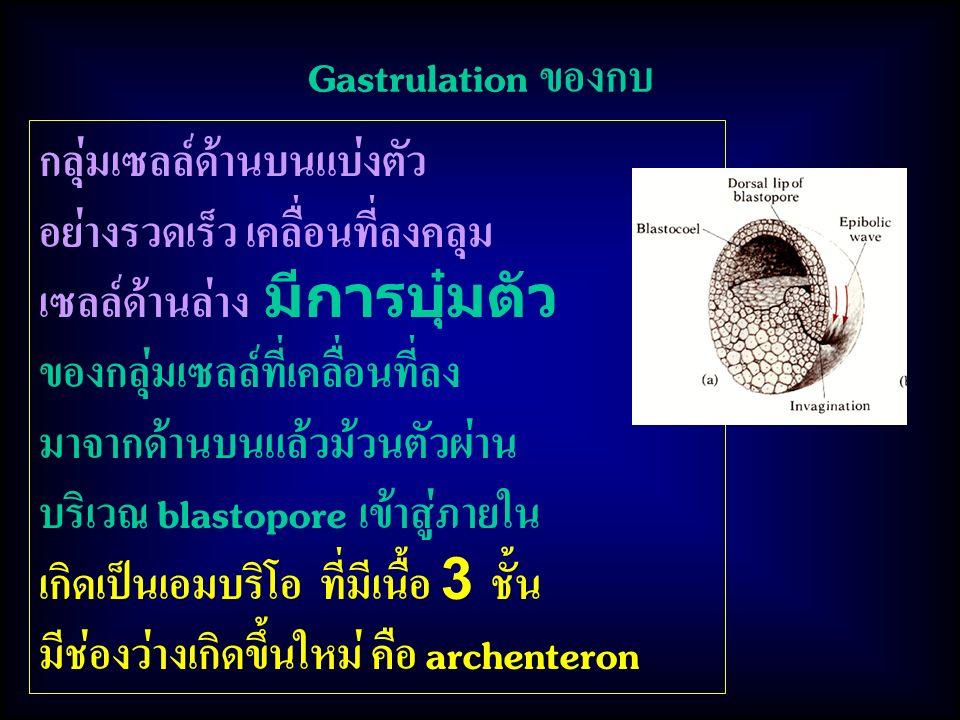 Gastrulation ของกบ กลุ่มเซลล์ด้านบนแบ่งตัว อย่างรวดเร็ว เคลื่อนที่ลงคลุม เซลล์ด้านล่าง มีการบุ๋มตัว ของกลุ่มเซลล์ที่เคลื่อนที่ลง มาจากด้านบนแล้วม้วนตัวผ่าน บริเวณ blastopore เข้าสู่ภายใน เกิดเป็นเอมบริโอ ที่มีเนื้อ 3 ชั้น มีช่องว่างเกิดขึ้นใหม่ คือ archenteron