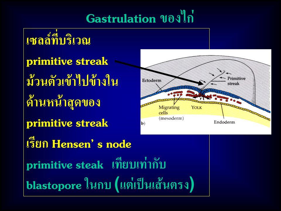 Gastrulation ของไก่ เซลล์ที่บริเวณ primitive streak ม้วนตัวเข้าไปข้างใน ด้านหน้าสุดของ primitive streak เรียก Hensen' s node primitive steak เทียบเท่ากับ blastopore ในกบ (แต่เป็นเส้นตรง)