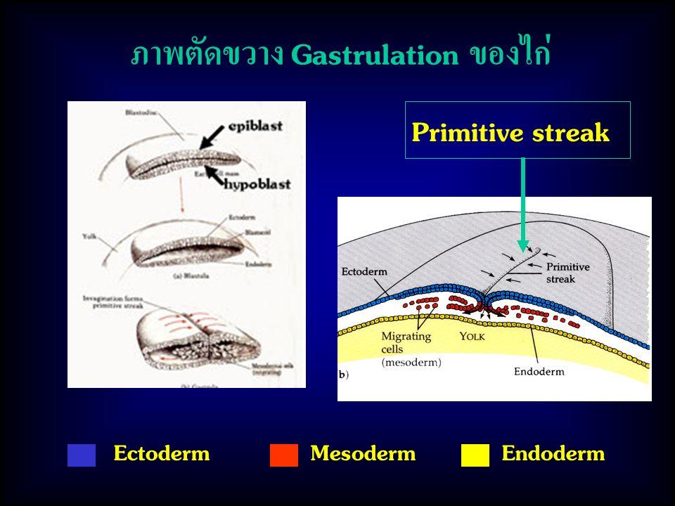 ภาพตัดขวาง Gastrulation ของไก่ Primitive streak EctodermMesodermEndoderm