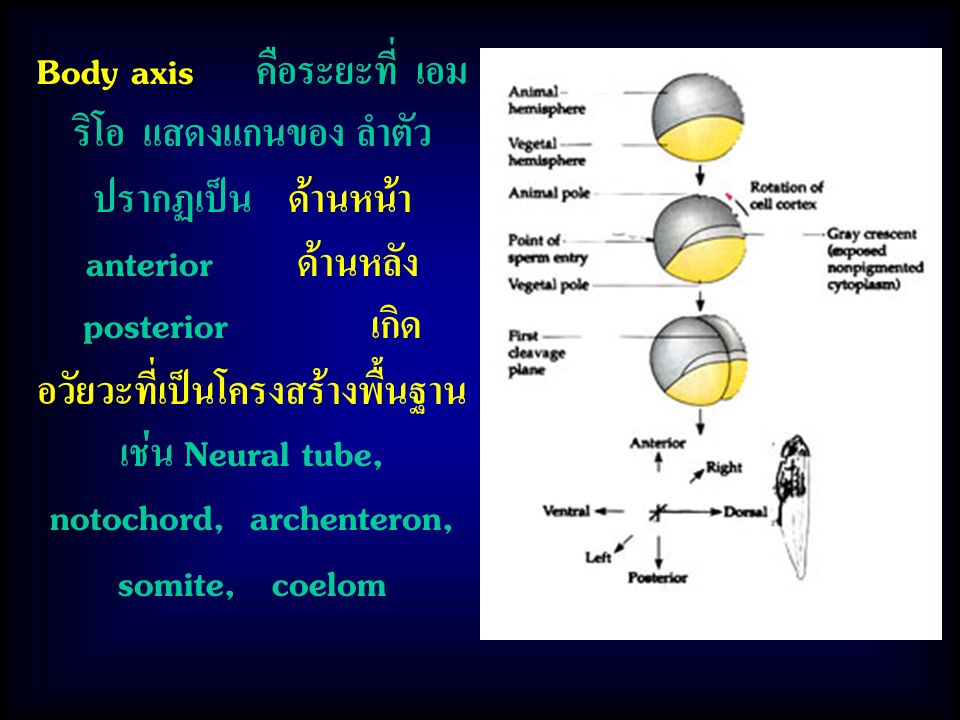 Body axis คือระยะที่ เอม ริโอ แสดงแกนของ ลำตัว ปรากฏเป็น ด้านหน้า anterior ด้านหลัง posterior เกิด อวัยวะที่เป็นโครงสร้างพื้นฐาน เช่น Neural tube, notochord, archenteron, somite, coelom