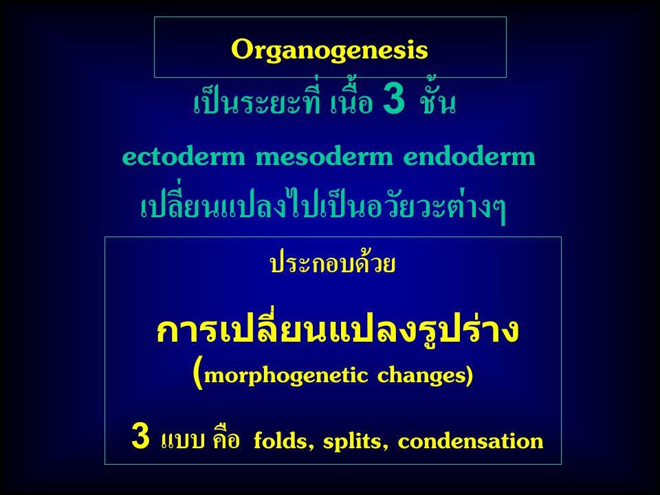 Organogenesis เป็นระยะที่ เนื้อ 3 ชั้น ectoderm mesoderm endoderm เปลี่ยนแปลงไปเป็นอวัยวะต่างๆ ประกอบด้วย การเปลี่ยนแปลงรูปร่าง (morphogenetic changes) 3 แบบ คือ folds, splits, condensation